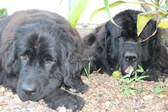 Newfoundland Dogs. Canadian Breed, Newfoundland, Newfies, rescue dogs in the water and the best baby sitters for the kids, Gentle Giants with the biggest and royalty free stock images