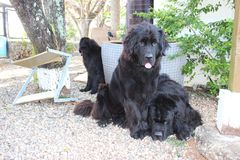 Newfoundland Dogs. Canadian Breed, Newfoundland, Newfies, rescue dogs in the water and the best baby sitters for the kids, Gentle Giants with the biggest and stock photo