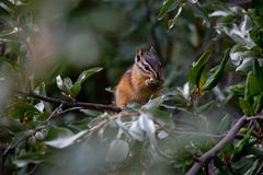 Canadian chipmunk is such a cute animal, Canadian Rockies, Kananaskis Country, Canada, Alberta province royalty free stock images
