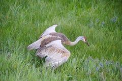 Canadian Crane defending territory Stock Photography
