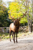 Canadian deer  in safari Park Stock Photography