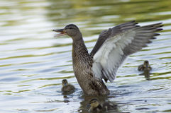 Canadian Duck and Ducklings. A mother duck threatening strangers. Her calm ducklings look at her. Mallard Stock Photo