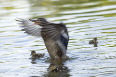Canadian Duck and Ducklings. A mother duck threatening strangers. Ducklings around her watching peacefully. Mallard royalty free stock images