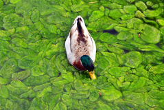 Canadian Duck Royalty Free Stock Photos