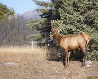 Canadian Elk Stock Image