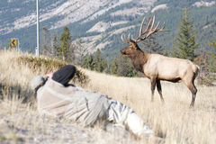Canadian Elk Royalty Free Stock Photos