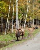 Canadian elk standing on a walkway stock photo
