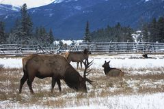 Canadian Elks Royalty Free Stock Photography