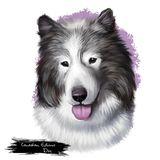Canadian Eskimo dog breed isolated on white background digital art. Arctic breed of working dog, domestic canine qimmiq. Or qimmit. Cute pet hand drawn portrait vector illustration