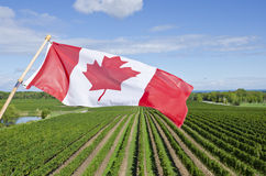 Canadian Flag Flying Over a Vineyard #1. The Canadian maple leaf flag flying high over a vineyard in the Niagara wine region #1 Stock Photography