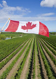 Canadian Flag Flying Over a Vineyard #3 Stock Image