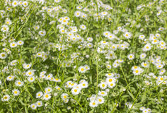 Canadian Fleabane, Horseweed field Royalty Free Stock Image