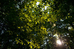 Canadian forest in the  morning. The suns rays pass through the trees Royalty Free Stock Image