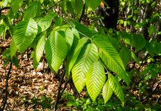 Canadian Forest: Sunlight on Green summer leaves stock photo