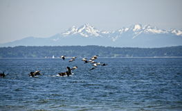 Free Canadian Gees Flock At Richmond Beach Saltwater Royalty Free Stock Photography - 93382577