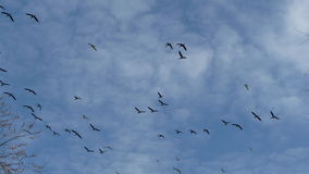 Canadian Geese flying above Royalty Free Stock Photography