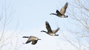 Free Canadian Geese Royalty Free Stock Image - 12392366
