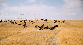 Canadian Geese. Winter Canadian Geese in a field Stock Photos