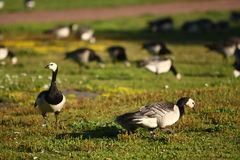 Free Canadian Geese Royalty Free Stock Image - 18780466
