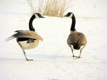 Canadian Geese 2. Two canadian geese on a frozen pond Royalty Free Stock Image