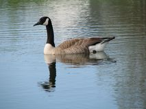 Canadian geese. Wild canadian geese swimming in a pond stock image