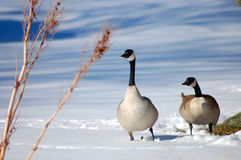 Canada geese stock photo