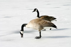 Canadian Geese. Two Geese on a frozen pond Stock Photos