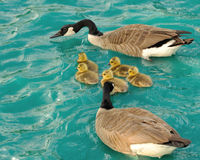 Free Canadian Geese Royalty Free Stock Images - 47143009