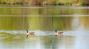 Canadian geese. Two canadian geese floating on water in a bay Stock Photography