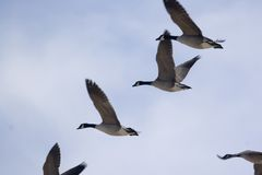 Canadian Geese. A flock of canadian geese Stock Photos