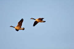 Canadian geese. Canadaian geese flying in blue sky stock photography