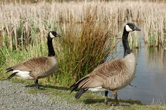 Canadian Geese Stock Images