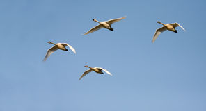 Canadian geese. Four Canadian geese heading south Stock Photos