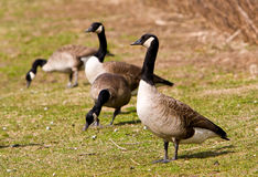 Free Canadian Geese Stock Photography - 8597512
