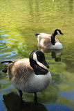 Canadian Geese. Geese at Queen Elizabeth Park, Vancouver, Canada Royalty Free Stock Photos