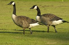 Canadian Geese. Two canadian geese Royalty Free Stock Image