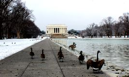 Canadian geese around the reflecting pool. Cold morning in DC at Lincoln memorial royalty free stock photos