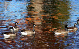 Canadian Geese - Autumn Reflections Royalty Free Stock Photo