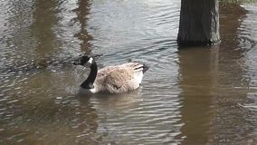 Canadian geese and babies-Stock Videos footage stock footage