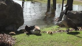 Canadian geese and babies-Stock Videos footage stock video