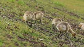 Canadian Geese Babies stock video footage