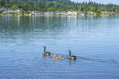 Canadian geese with a baby ducklings. An geese with a baby ducklings at Sammamish Park, WA Royalty Free Stock Photos