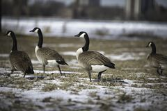 Canadian Geese At Belle Isle During Winter. royalty free stock image