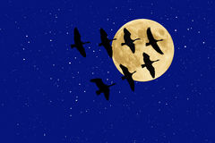 Canadian Geese beneath Full Moon and Stars Stock Images