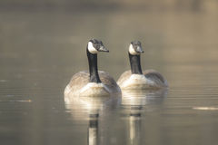 Canadian geese Branta Canadensis Stock Photography
