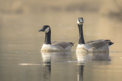 Canadian geese Branta Canadensis Stock Photos