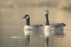 Canadian geese Branta Canadensis Stock Photos