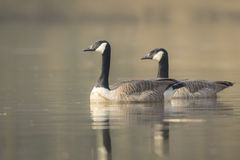 Canadian geese Branta Canadensis Royalty Free Stock Photography
