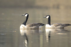 Canadian geese Branta Canadensis Royalty Free Stock Images
