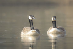 Canadian geese Branta Canadensis Stock Photo